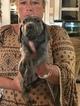 Weimaraner Puppy For Sale in GAINESVILLE, KY, USA