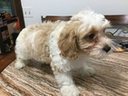 Cavachon Puppy For Sale in SWANSEA, MA