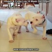 Small Photo #114 Dogo Argentino Puppy For Sale in PINEVILLE, MO, USA