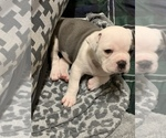 Small #9 Olde English Bulldogge