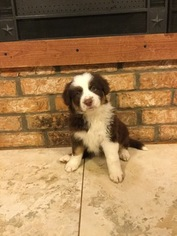 Border Collie Puppy For Sale in WILLS POINT, TX, USA