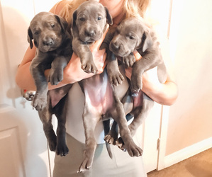 Great Dane Puppy for sale in HENDERSON, NV, USA