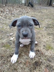 American Bully Puppy For Sale in LAKE CITY, MI