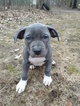 Puppy 2 American Bully