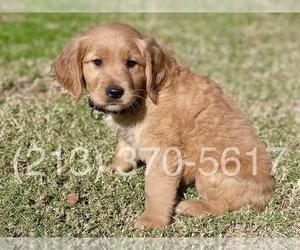 Golden Retriever Puppy for sale in EL MONTE, CA, USA