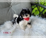Small Cavapoo-Poodle (Toy) Mix