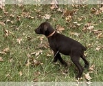 Puppy 3 German Shorthaired Pointer