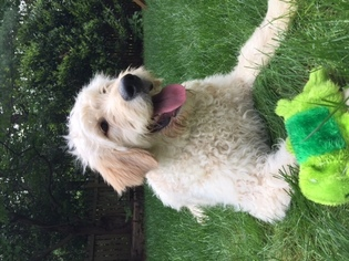 Goldendoodle Puppy For Sale in RESTON, VA