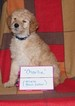 Goldendoodle Puppy For Sale in BOON, MI