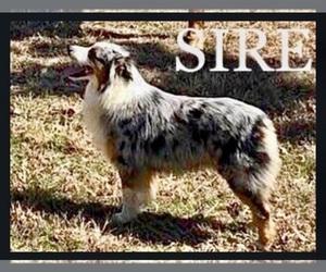 Father of the Australian Shepherd puppies born on 03/01/2021