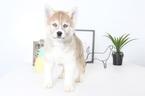 Pomsky Puppy For Sale in NAPLES, FL, USA