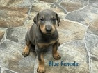 Doberman Pinscher Puppy For Sale in HAYESVILLE, North Carolina,