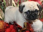 Pug Puppy For Sale in BOSTON, Massachusetts,