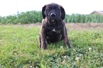 Presa Canario Puppy For Sale in GLASGOW, KY, USA