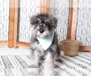 Snorkie Puppy for sale in NAPLES, FL, USA