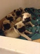 Pug Puppy For Sale in DENTON, NC