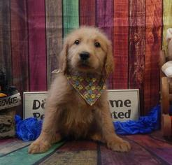 Golden Retriever-Poodle (Miniature) Mix Puppy For Sale in CHICAGO, IL