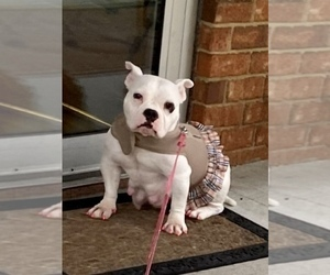 Mother of the American Bully puppies born on 12/20/2019