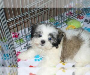 Shih Tzu Puppy for sale in ORO VALLEY, AZ, USA
