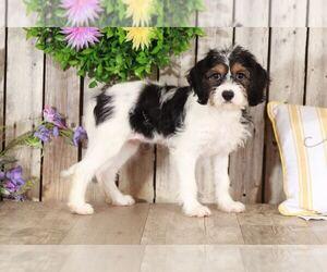 Cava-Tzu Puppy for sale in MOUNT VERNON, OH, USA