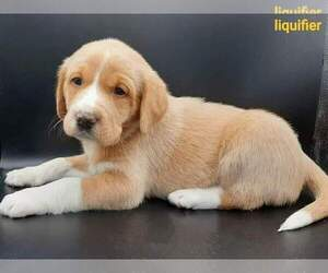 Australian Shepherd-Lab-Pointer Mix Puppy for sale in MILLVILLE, MN, USA