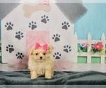 Puppy 7 Pom-A-Poo-Poodle (Toy) Mix