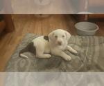 Puppy 5 Australian Shepherd-Beagle Mix