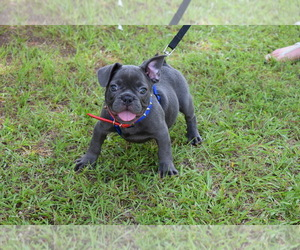 French Bulldog Puppy for Sale in IVA, South Carolina USA