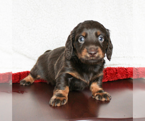 Dachshund Puppy for sale in CHRISTIANA, PA, USA