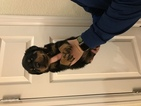 Rottweiler Puppy For Sale in LITTLETON, Colorado,