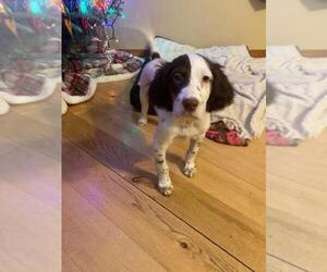English Setter Puppy for sale in FINLAYSON, MN, USA