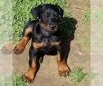 Small #16 Doberman Pinscher
