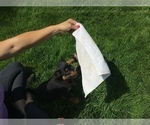 Small #34 Rottweiler