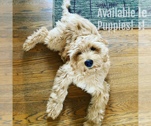Australian Labradoodle Puppy for sale in RICHLAND, WA, USA