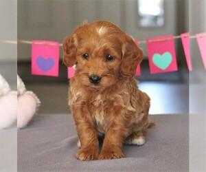 Goldendoodle (Miniature) Puppy for sale in CEDAR LANE, PA, USA