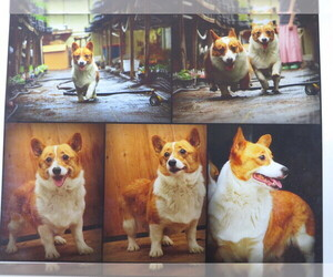 Mother of the Pembroke Welsh Corgi puppies born on 05/13/2021
