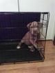 American Pit Bull Terrier Puppy For Sale in WAXAHACHIE, Texas,