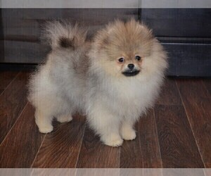 Pomeranian Puppies for Sale near Houston, Texas, USA, Page 1 (10 per