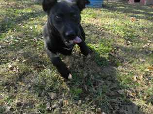 Tenille - Pit Bull Terrier / Labrador Retriever / Mixed (short coat) Dog For Adoption