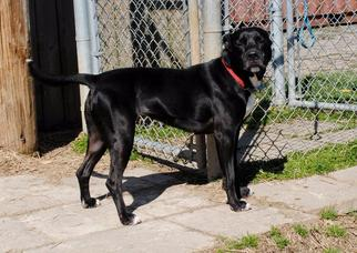 Tippi - Adoption Sponsered - Labrador Retriever / Pit Bull Terrier / Mixed Dog For Adoption