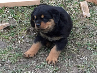 View Ad Rottweiler Litter Of Puppies For Sale Near Indiana