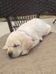 Labrador Retriever Puppy For Sale in EATON, CO