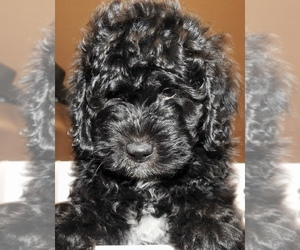 Miniature Bernedoodle Puppy for Sale in CAMERON, Montana USA