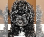 mini BERNEDOODLE pups