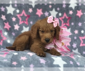 Goldendoodle (Miniature) Puppy for sale in LAKELAND, FL, USA
