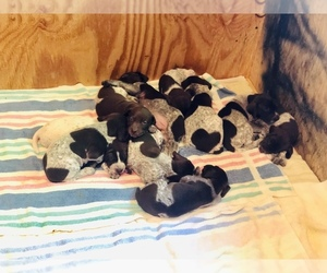German Shorthaired Pointer Puppy for Sale in RARITAN, New Jersey USA