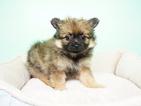 Pomeranian Puppy For Sale in LA MIRADA, CA, USA