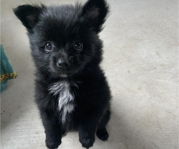 Medium Photo #3 Pomeranian Puppy For Sale in KEAAU, HI, USA