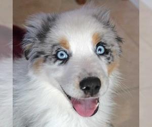 Australian Shepherd Puppy for sale in SAINT LOUIS, MO, USA