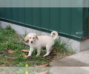 Labradoodle Puppy for sale in SHILOH, OH, USA